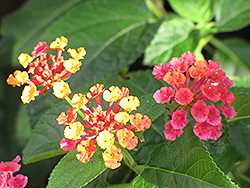 Luscious® Citrus Blend™ Lantana (Lantana camara 'Luscious Citrus Blend') at Vandermeer Nursery