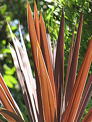 Red Star Red Grass Tree (Cordyline australis 'Red Star') at Vandermeer Nursery