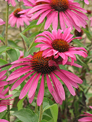 Ruby Star™ Coneflower (Echinacea purpurea 'Rubinstern') at Vandermeer Nursery