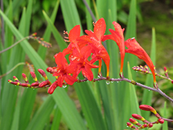 Lucifer Crocosmia (Crocosmia 'Lucifer') at Vandermeer Nursery
