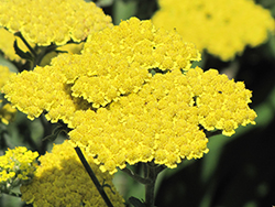 Moonshine Yarrow (Achillea 'Moonshine') at Vandermeer Nursery