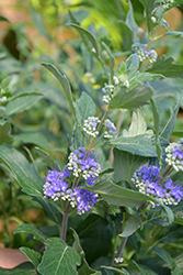 Beyond Midnight® Caryopteris (Caryopteris x clandonensis 'CT-9-12') at Vandermeer Nursery
