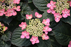 Tuff Stuff™ Red Hydrangea (Hydrangea serrata 'SMNMAKTSR') at Vandermeer Nursery