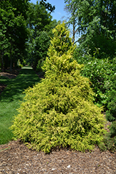 Golden Mop Falsecypress (Chamaecyparis pisifera 'Golden Mop') at Vandermeer Nursery