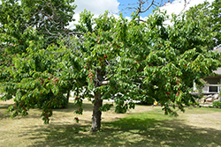 Bing Cherry (Prunus avium 'Bing') at Vandermeer Nursery