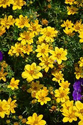 Goldilocks Rocks Bidens (Bidens ferulifolia 'Goldilocks Rocks') at Vandermeer Nursery