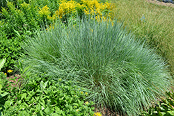 Prairie Blues Bluestem (Schizachyrium scoparium 'Prairie Blues') at Vandermeer Nursery