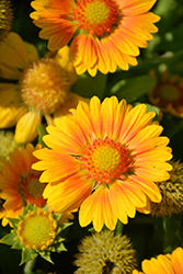 Gallo™ Peach Blanket Flower (Gaillardia aristata 'Gallo Peach') at Vandermeer Nursery