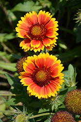 Arizona Sun Blanket Flower (Gaillardia x grandiflora 'Arizona Sun') at Vandermeer Nursery