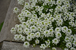 Snow Princess® Alyssum (Lobularia 'Snow Princess') at Vandermeer Nursery