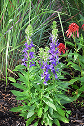 Fan Blue Cardinal Flower (Lobelia x speciosa 'Fan Blue') at Vandermeer Nursery