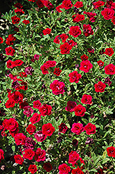 MiniFamous® Double Red Calibrachoa (Calibrachoa 'MiniFamous Double Red') at Vandermeer Nursery