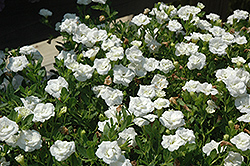 MiniFamous® Double White Calibrachoa (Calibrachoa 'MiniFamous Double White') at Vandermeer Nursery