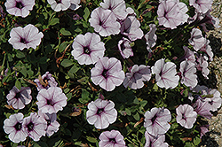 Surfinia® Blue Vein Petunia (Petunia 'Surfinia Blue Vein') at Vandermeer Nursery