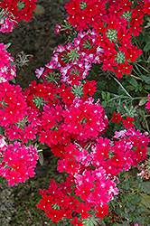 Lanai® Twister™ Red Verbena (Verbena 'Lanai Twister Red') at Vandermeer Nursery