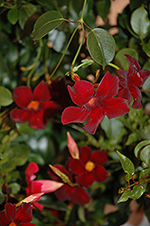 Sun Parasol® Pretty Deep Red Mandevilla (Mandevilla 'Sun Parasol Pretty Deep Red') at Vandermeer Nursery