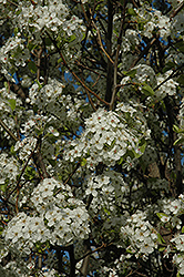 Chanticleer Ornamental Pear (Pyrus calleryana 'Chanticleer') at Vandermeer Nursery