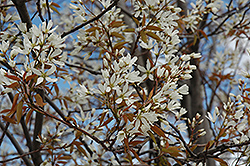 Autumn Brilliance Serviceberry (Amelanchier x grandiflora 'Autumn Brilliance (tree form)') at Vandermeer Nursery