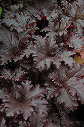 Black Taffeta Coral Bells (Heuchera 'Black Taffeta') at Vandermeer Nursery