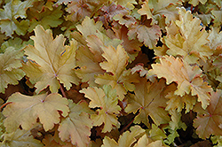 Amber Waves Coral Bells (Heuchera 'Amber Waves') at Vandermeer Nursery