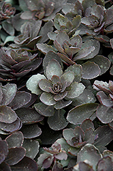 Dazzleberry Stonecrop (Sedum 'Dazzleberry') at Vandermeer Nursery
