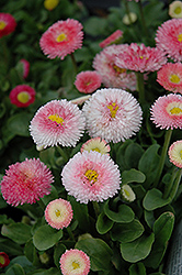 Tasso Strawberries And Cream English Daisy (Bellis perennis 'Tasso Strawberries And Cream') at Vandermeer Nursery