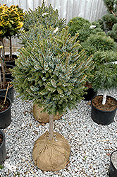 Dwarf Serbian Spruce (tree form) (Picea omorika 'Nana (tree form)') at Vandermeer Nursery