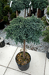 Blue Star Juniper (Juniperus squamata 'Blue Star (tree form)') at Vandermeer Nursery