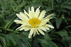 Banana Cream Shasta Daisy (Leucanthemum x superbum 'Banana Cream') at Vandermeer Nursery