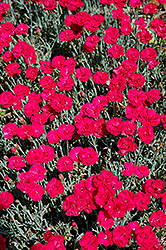 Frosty Fire Pinks (Dianthus 'Frosty Fire') at Vandermeer Nursery
