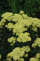 Sunny Seduction Yarrow (Achillea millefolium 'Sunny Seduction') at Vandermeer Nursery