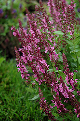 Sensation Deep Rose Meadow Sage (Salvia nemorosa 'Sensation Deep Rose') at Vandermeer Nursery
