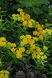 Hello Yellow Milkweed (Asclepias tuberosa 'Hello Yellow') at Vandermeer Nursery