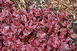 Cherry Tart Stonecrop (Sedum 'Cherry Tart') at Vandermeer Nursery