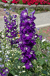 Purple Passion Larkspur (Delphinium 'Purple Passion') at Vandermeer Nursery