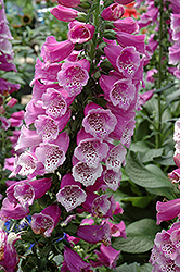 Dalmatian Purple Foxglove (Digitalis purpurea 'Dalmatian Purple') at Vandermeer Nursery