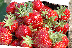 Honeoye Strawberry (Fragaria 'Honeoye') at Vandermeer Nursery