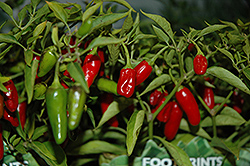 Apache Pepper (Capsicum annuum 'Apache') at Vandermeer Nursery