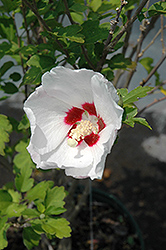Red Heart Rose Of Sharon (Hibiscus syriacus 'Red Heart') at Vandermeer Nursery
