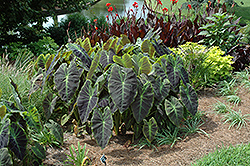 Illustris Elephant Ear (Colocasia esculenta 'Illustris') at Vandermeer Nursery