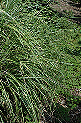 Little Zebra Dwarf Maiden Grass (Miscanthus sinensis 'Little Zebra') at Vandermeer Nursery