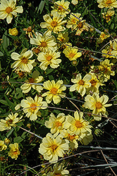 Galaxy Tickseed (Coreopsis 'Galaxy') at Vandermeer Nursery