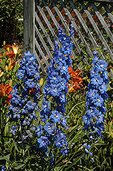 Cobalt Dreams Larkspur (Delphinium 'Cobalt Dreams') at Vandermeer Nursery
