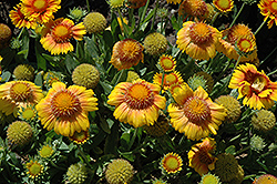 Arizona Apricot Blanket Flower (Gaillardia x grandiflora 'Arizona Apricot') at Vandermeer Nursery