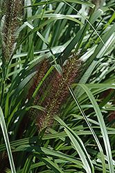 Red Head Fountain Grass (Pennisetum alopecuroides 'Red Head') at Vandermeer Nursery