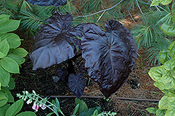 Black Coral Elephant Ear (Colocasia esculenta 'Black Coral') at Vandermeer Nursery
