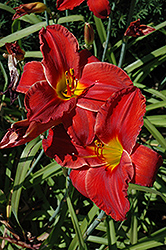 Sun Dried Tomatoes Daylily (Hemerocallis 'Sun Dried Tomatoes') at Vandermeer Nursery