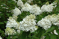 Fire And Ice Hydrangea (Hydrangea paniculata 'Wim's Red') at Vandermeer Nursery