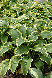 Atlantis Hosta (Hosta 'Atlantis') at Vandermeer Nursery