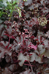 Melting Fire Coral Bells (Heuchera 'Melting Fire') at Vandermeer Nursery